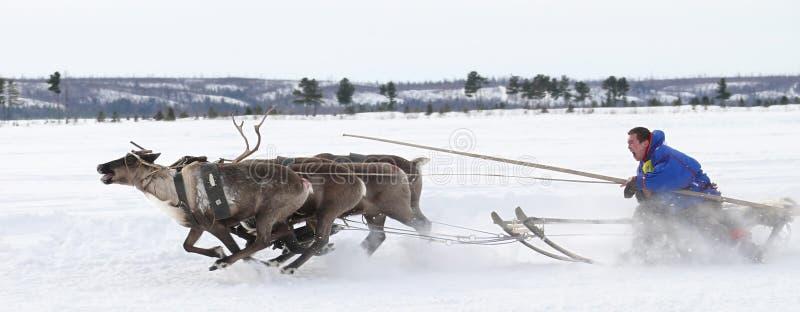 在驯鹿的假日期间,赛跑在鹿。 免版税库存照片