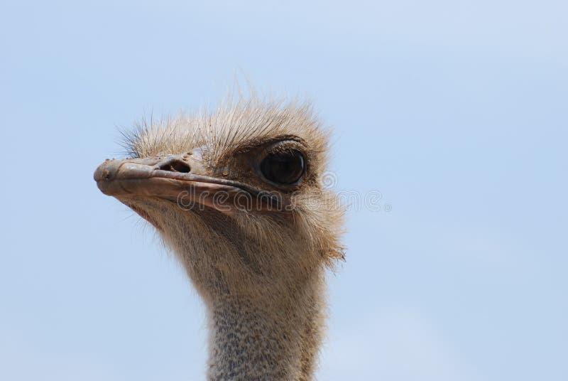 在驼鸟的头的后蓝天 库存照片