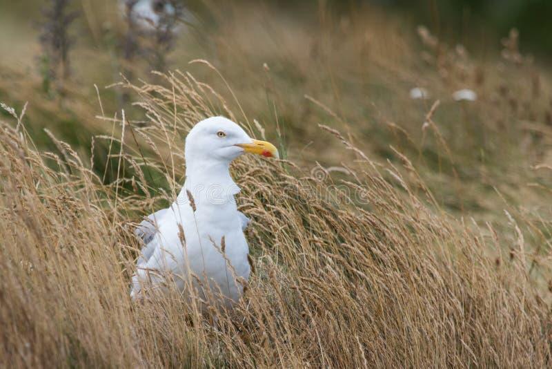 在高各式各样的草的海鸥 免版税图库摄影