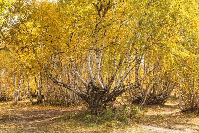 在高地的弯曲的桦树 免版税图库摄影