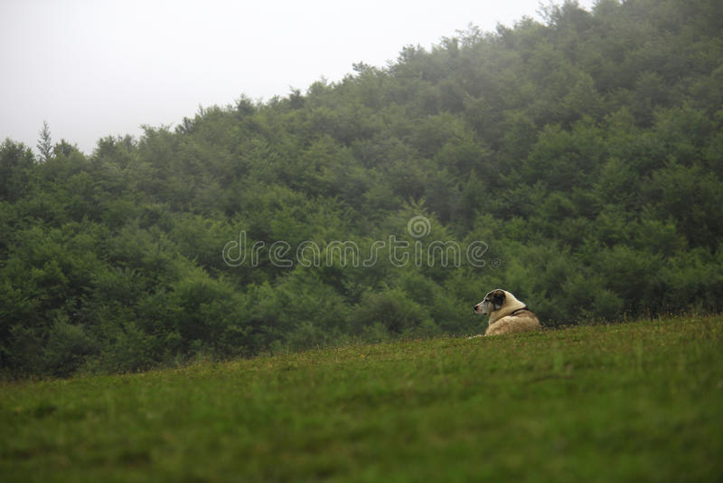 在高地的护羊狗 库存照片