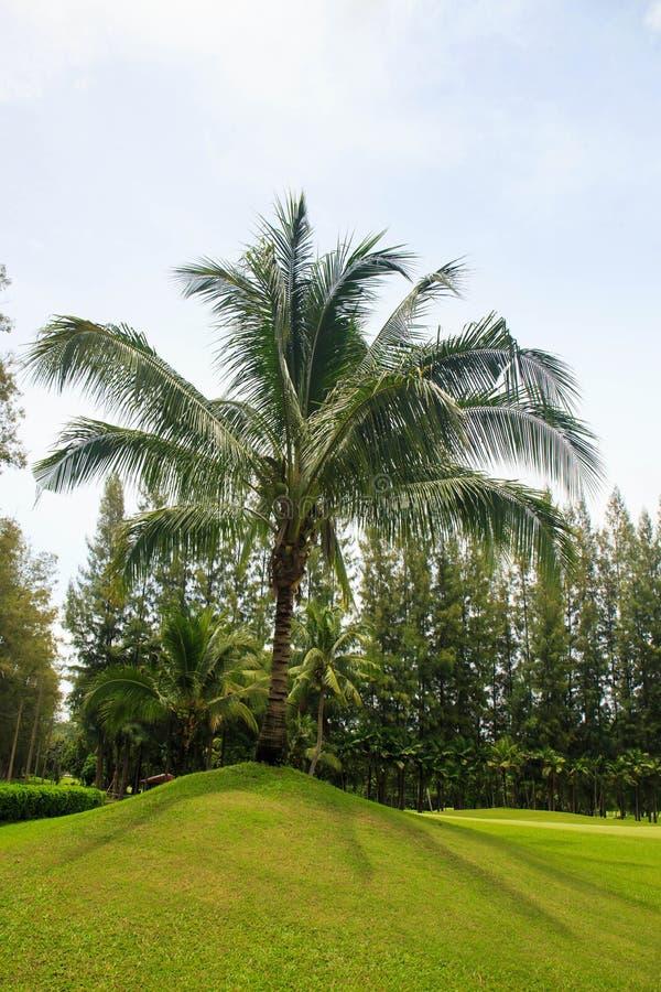在高尔夫球绿色边缘的可可椰子树在泰国 免版税图库摄影