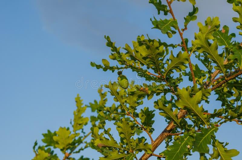 在高尚的橡木的叶子的分支的中绿色偏僻的橡子 库存照片