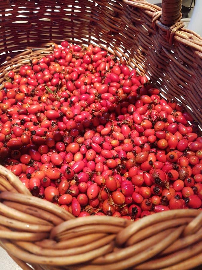 在高尚的篮子的被采摘的野玫瑰果 ?? 免版税库存图片