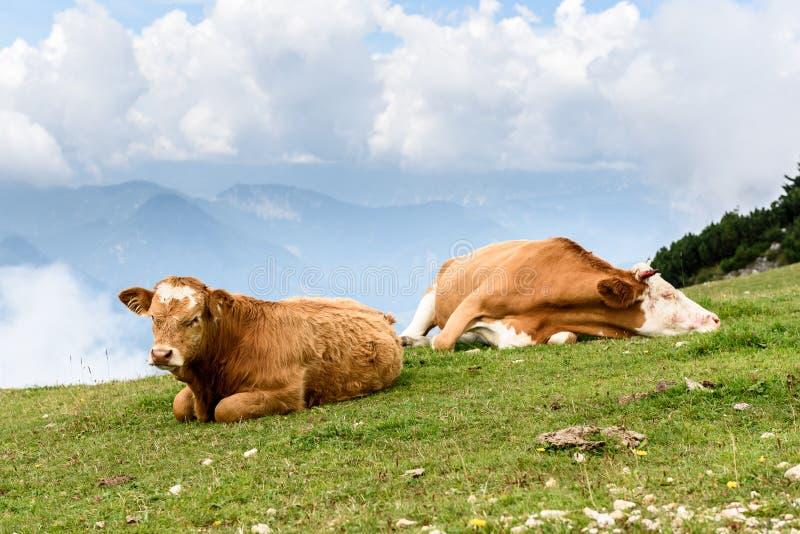 在高山的自由放养的牛母牛绿化牧场地 免版税库存照片
