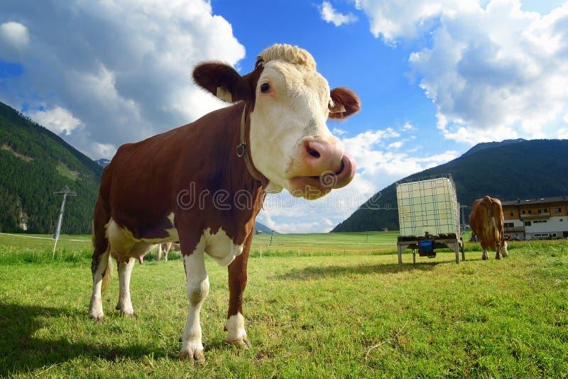 在高山草甸的滑稽的母牛 免版税库存图片