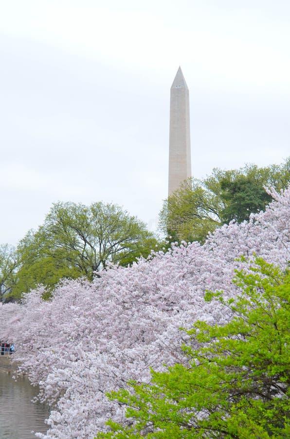 在高峰樱花绽放期间的华盛顿纪念碑 免版税图库摄影
