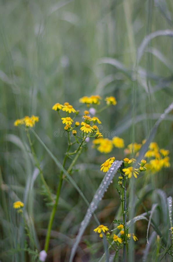 在高绿草中的黄色野花 夜在叶子和词根的雨下落 r 图库摄影