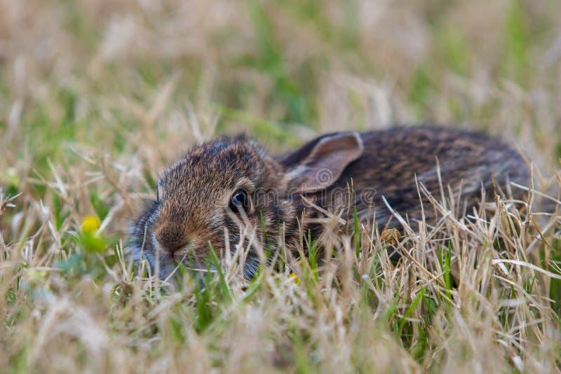在高草的幼小棕色兔子 免版税库存照片