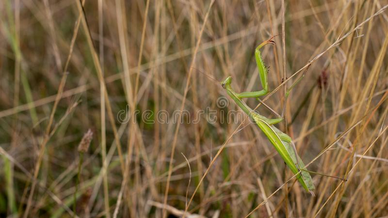 在高草的捕食的螳螂偷偷靠近的昆虫 库存照片