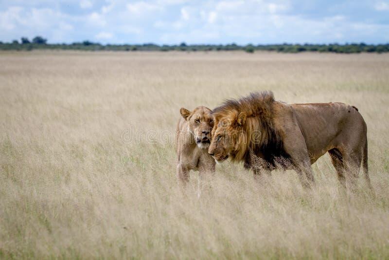 在高草的狮子联接的夫妇 库存照片