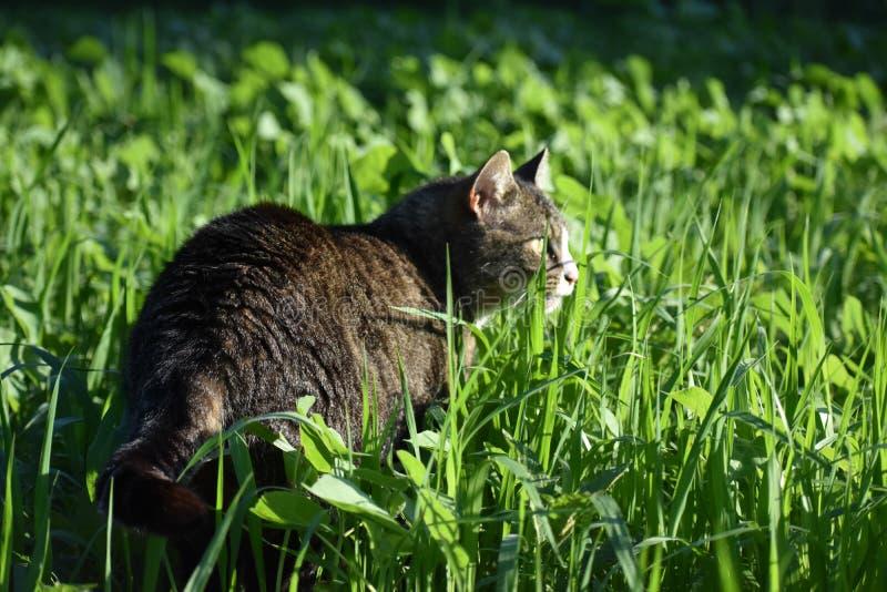 在高草的猫 库存图片
