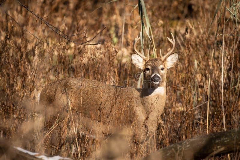 在高草的白尾鹿大型装配架在日落 库存照片