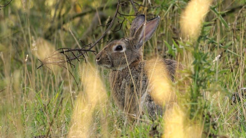 在高草的野生欧洲的兔子 免版税库存图片