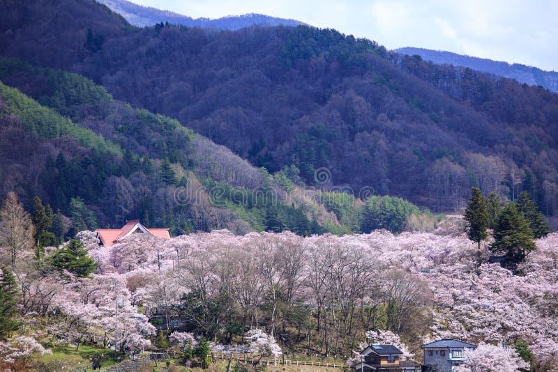 在高藤的樱花 免版税库存照片