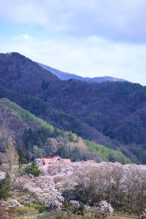 在高藤的樱花 库存照片