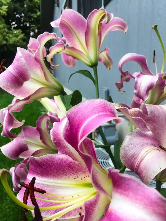 在高词根的百合树图象紫色和白花 免版税库存图片