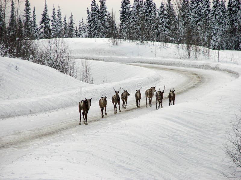 在高速公路的北美驯鹿 库存照片