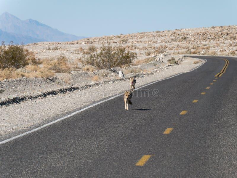 在高速公路的土狼 免版税库存图片