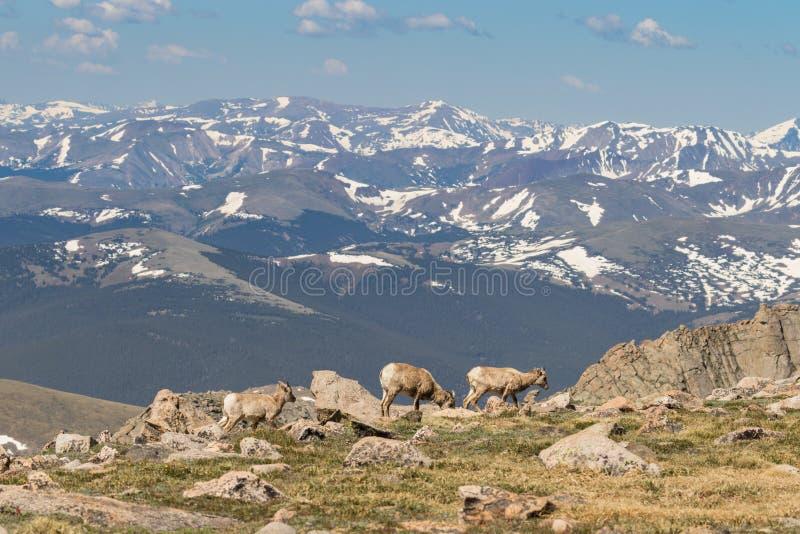 在高高山的大角野绵羊母羊 库存图片