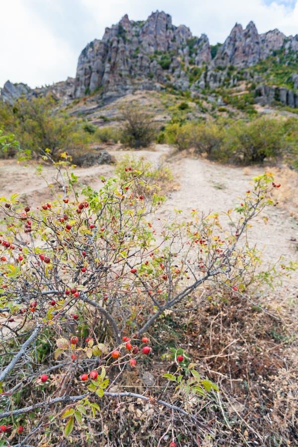 在鬼魂谷的狗玫瑰灌木在克里米亚 免版税库存照片