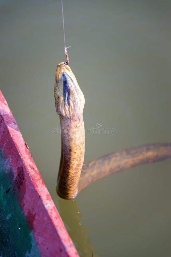 在鱼钩的水蟒 图库摄影