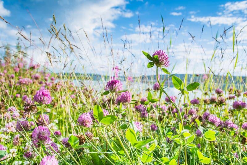 在鲜绿色和蓝天背景的三叶草 库存照片