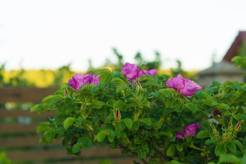 在鲜绿色的灌木的新鲜的紫色野玫瑰果花 免版税图库摄影