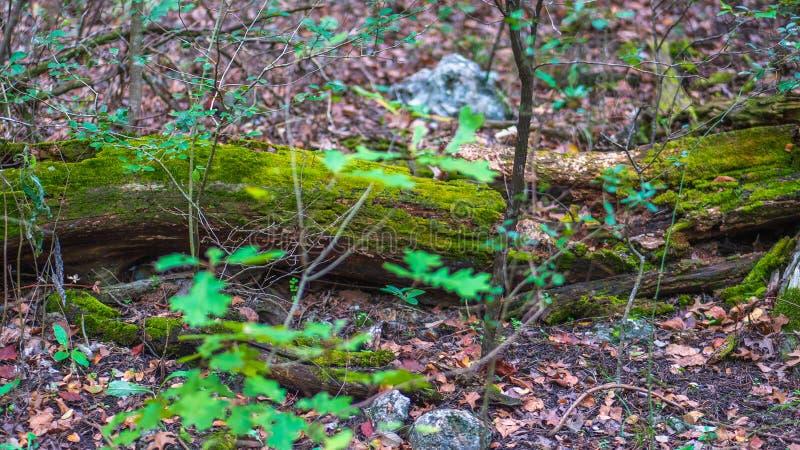 在鲜绿色的青苔盖的低劣的木头老日志 免版税库存图片