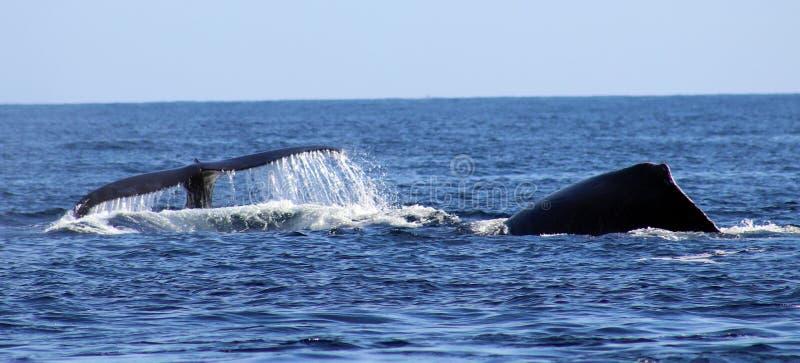 在鲸鱼家庭Los Cabos墨西哥优秀视图的鲸鱼在太平洋的 免版税库存图片