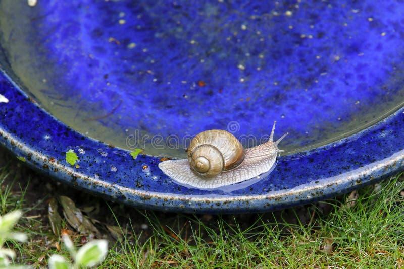 在鸟浴的一只蜗牛 免版税库存照片