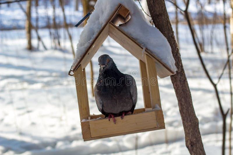 在鸟饲养者的鸽子在冬天公园 库存照片