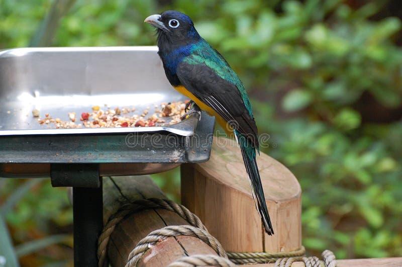 在鸟饲养者的黑带头的Trogon 免版税库存图片