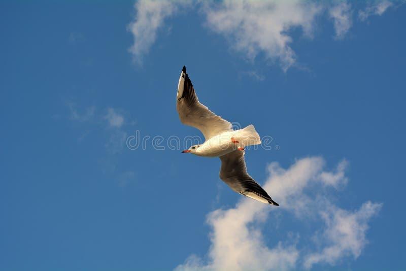 在鸟黑暗的飞行海洋之上开张海鸥翼 库存图片