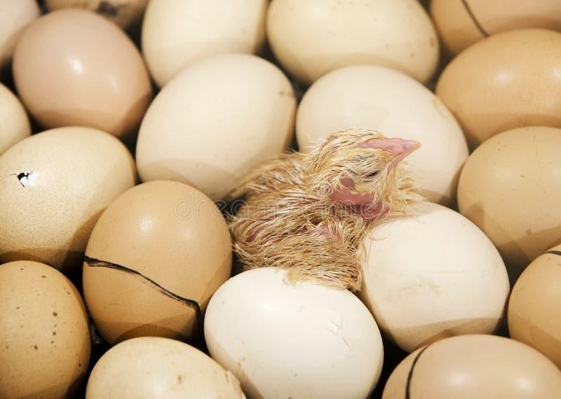 在鸡蛋的小鸡在孵养器 免版税图库摄影