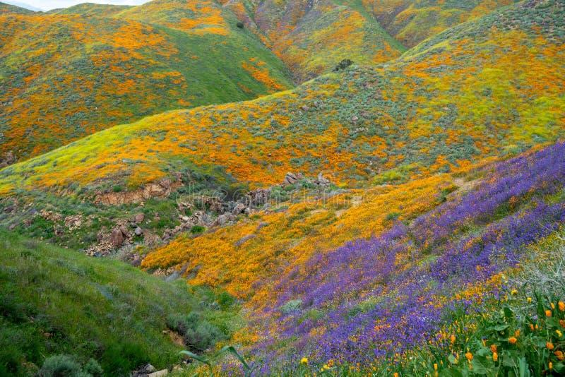 在鸦片期间,加利福尼亚超级绽放明亮,五颜六色的野花盖步行者峡谷绵延山  库存照片