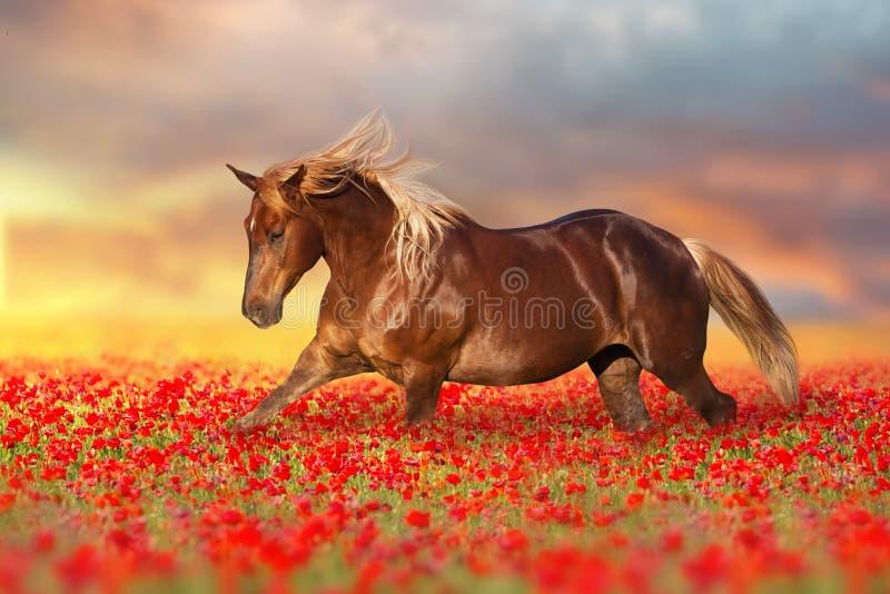 在鸦片花的红色马 库存图片