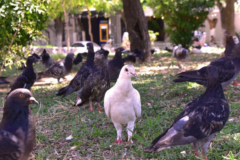 在鸽子中的白色鸽子在城市公园 免版税库存照片