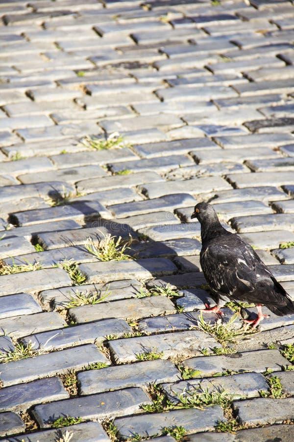 在鹅卵石街道上的鸽子 免版税库存照片