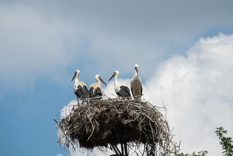 在鹳` s巢的一鹳家庭Ciconia ciconia 免版税库存图片