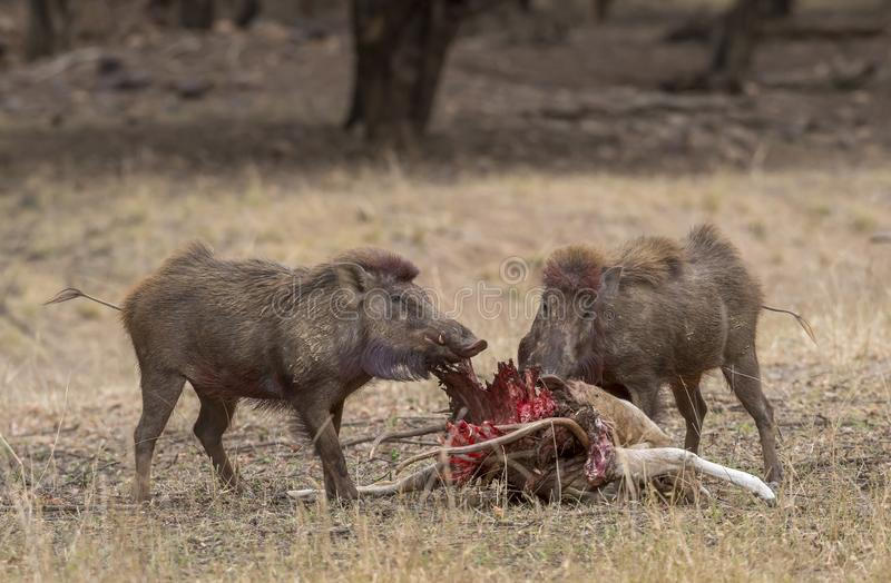 在鹿杀害的野公猪在Ranthambhore国立公园 免版税库存照片