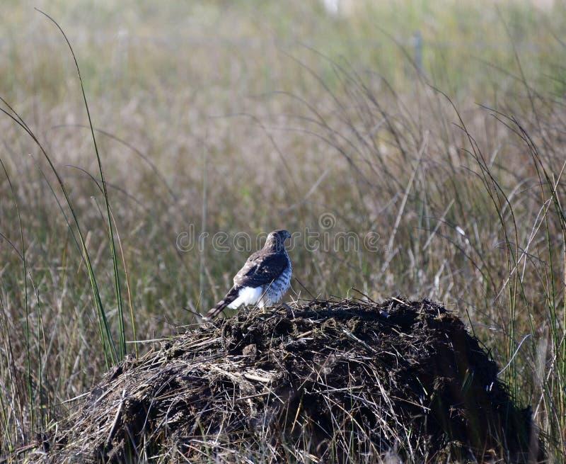 在麝香鼠议院栖息的鹰 免版税库存图片