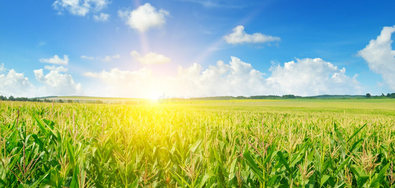在麦地的日出 宽照片 图库摄影