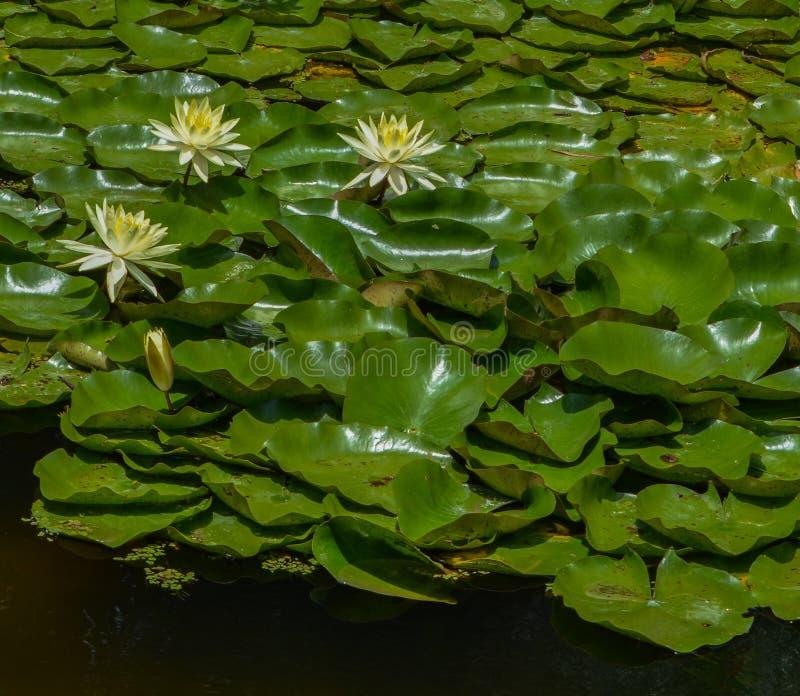 在麦基植物园的热带Waterlilies在维罗海滩,印第安河县,佛罗里达美国 库存图片