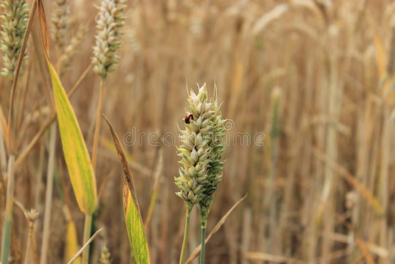 在麦子的瓢虫 免版税库存照片