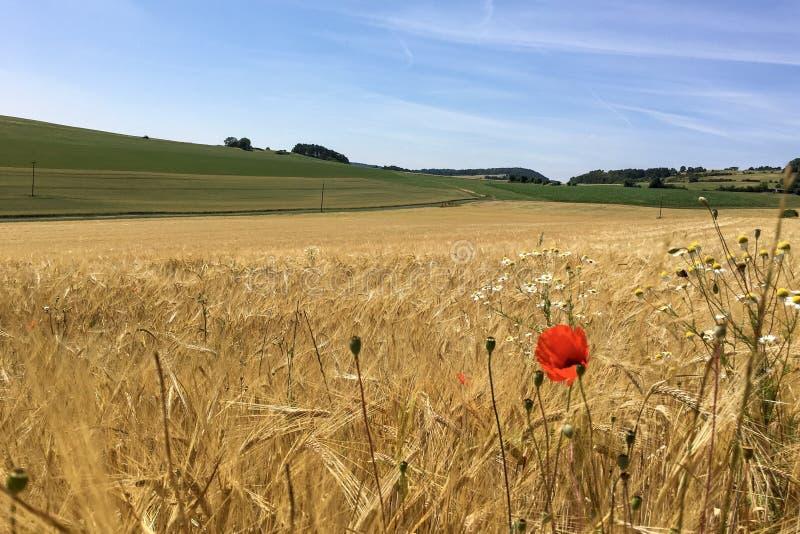 在麦子/大麦/黑麦庄稼领域在埃菲尔山风景,德国的开花的鸦片花在美好的夏天阳光下 免版税库存图片