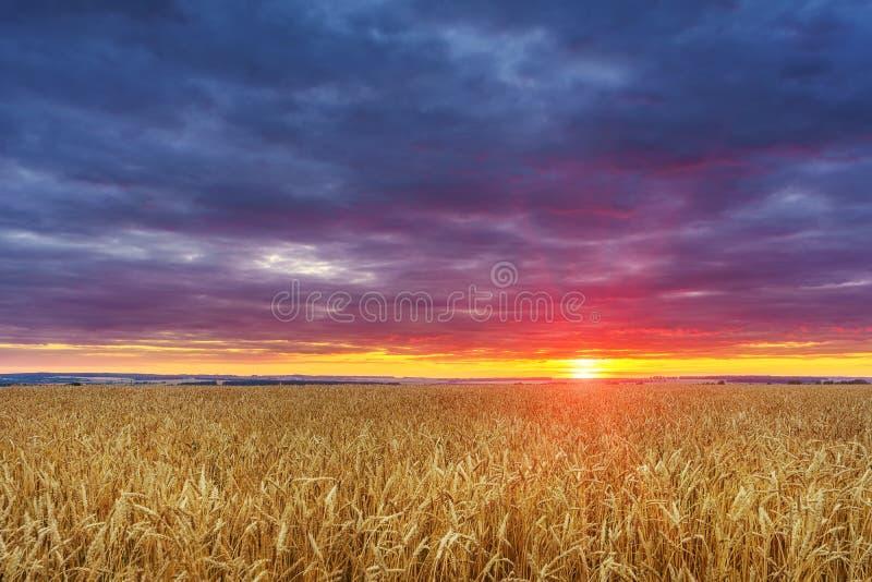 在麦田上的日落 库存照片