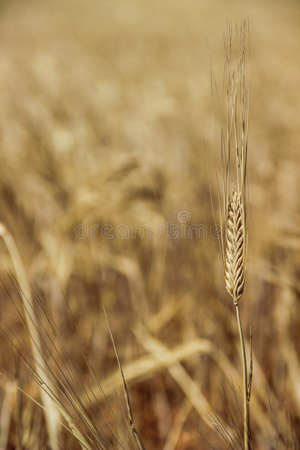 在麦田的一个黄色麦子头 免版税库存图片