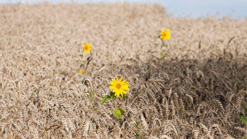 在麦田的向日葵花,充分地成熟玉米在一个晴朗的夏日,收割期,纹理表面照片 免版税库存照片