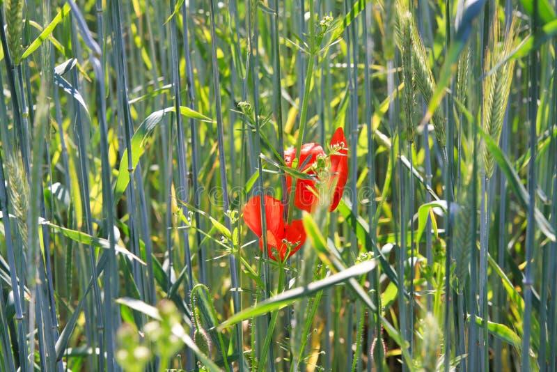 在麦田的开花的红色鸦片花罂粟属rhoeas在明亮的夏天阳光下-德国 免版税图库摄影